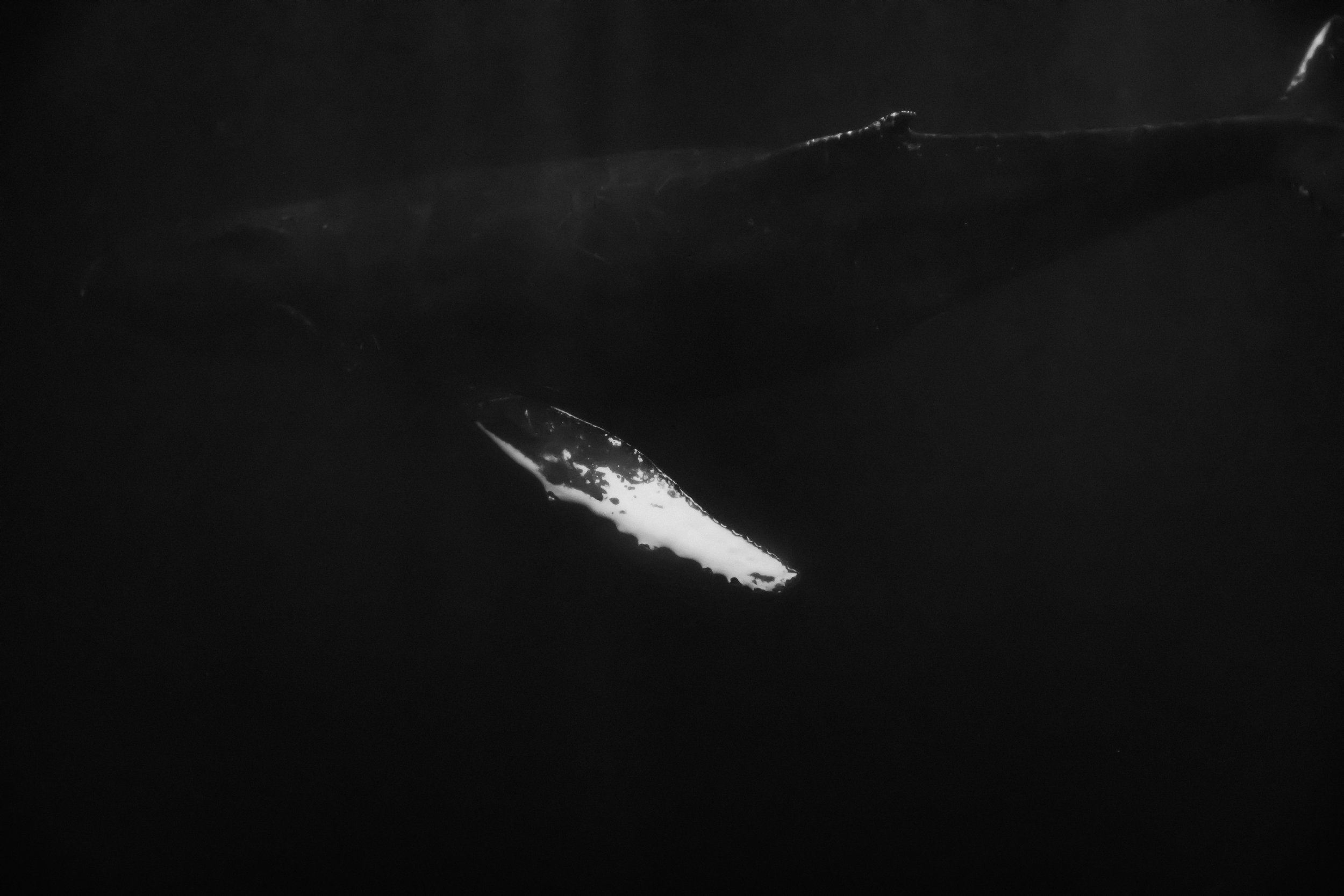 This is that pectoral fin that, shortly following this shot, came toward me as this humpback rolled on it's side.
