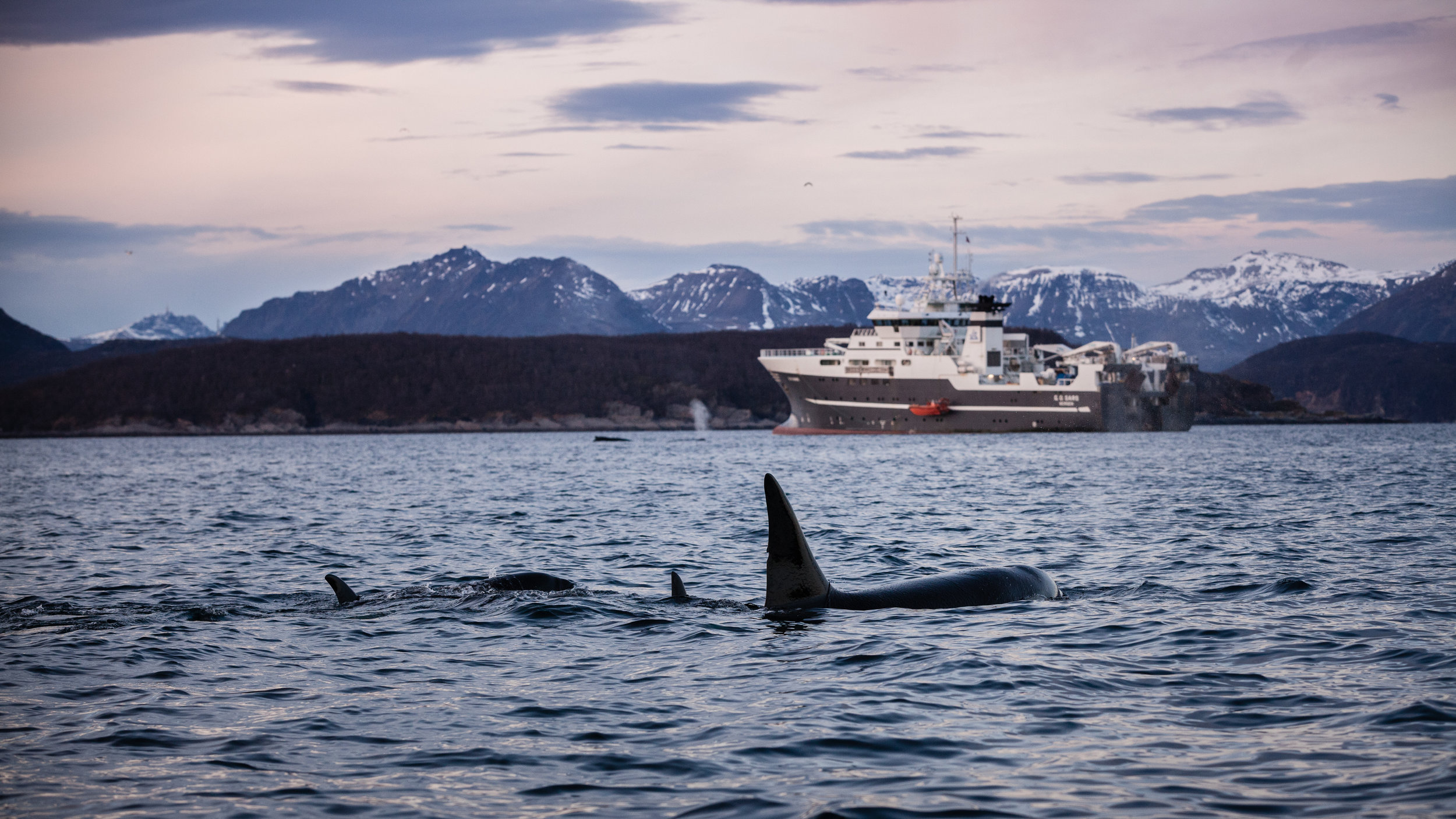 Orcas with humpbacks in the background
