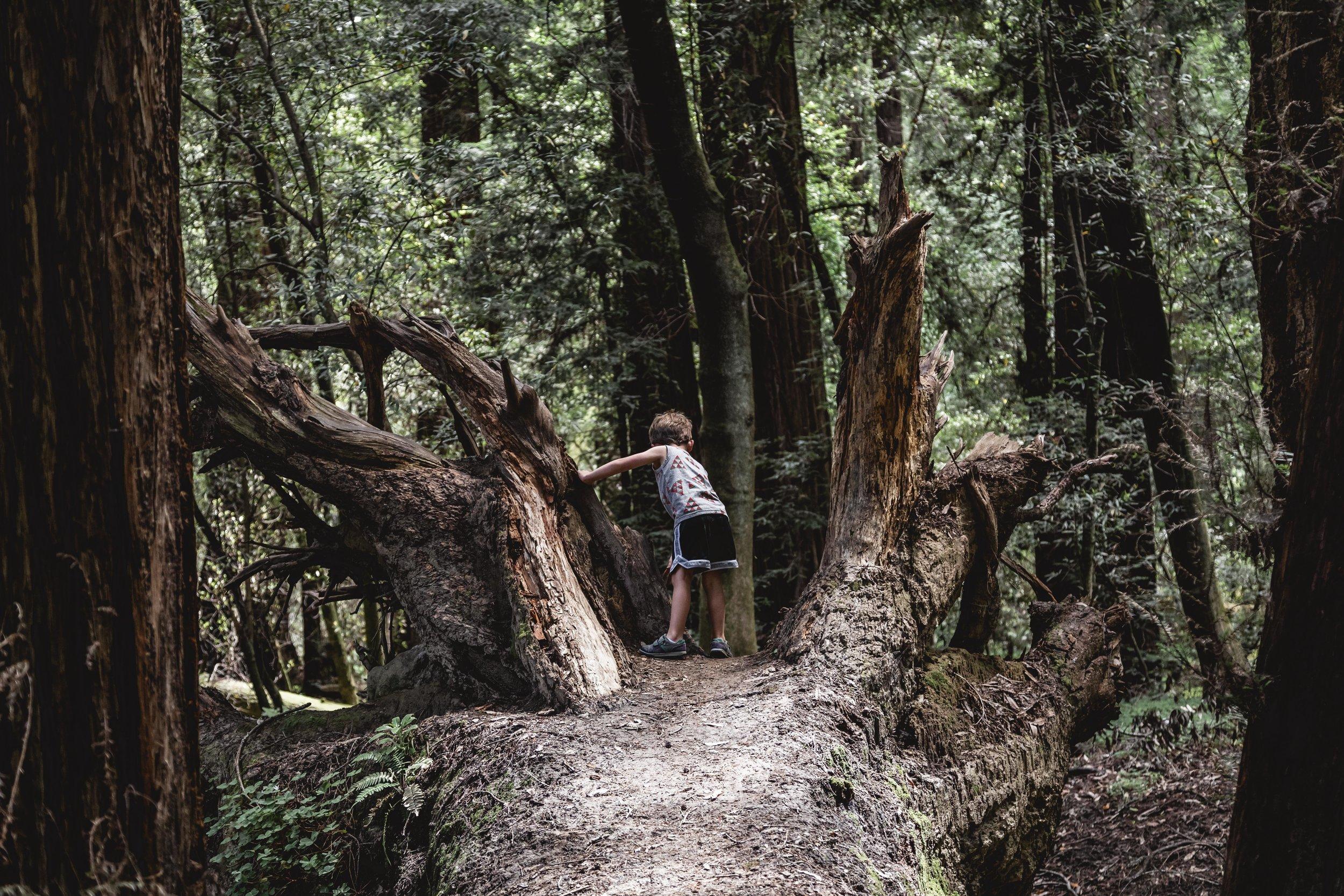 redwoods06-19-1734-2.JPG