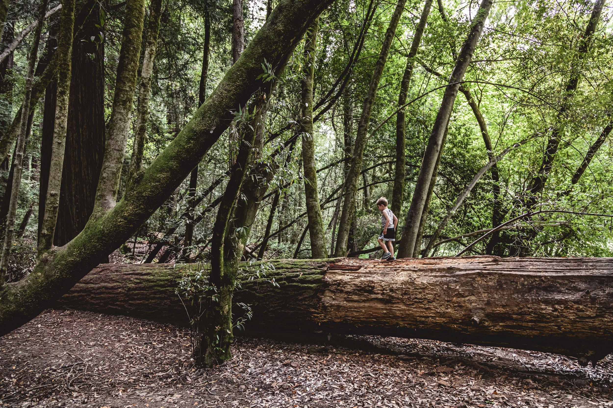 redwoods06-19-1695.JPG