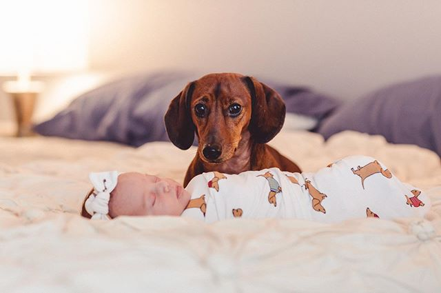 Dogs and newborns!! I had the privilege of capturing these two cuties earlier this week. Unfortunately, Frankie was very skeptical of my camera... But we still managed to get this shot (with lots of dog treats!!) 🥰#newbornphotography #carraonealphotography #familyphotography #cutiepie #dogsofinstagram