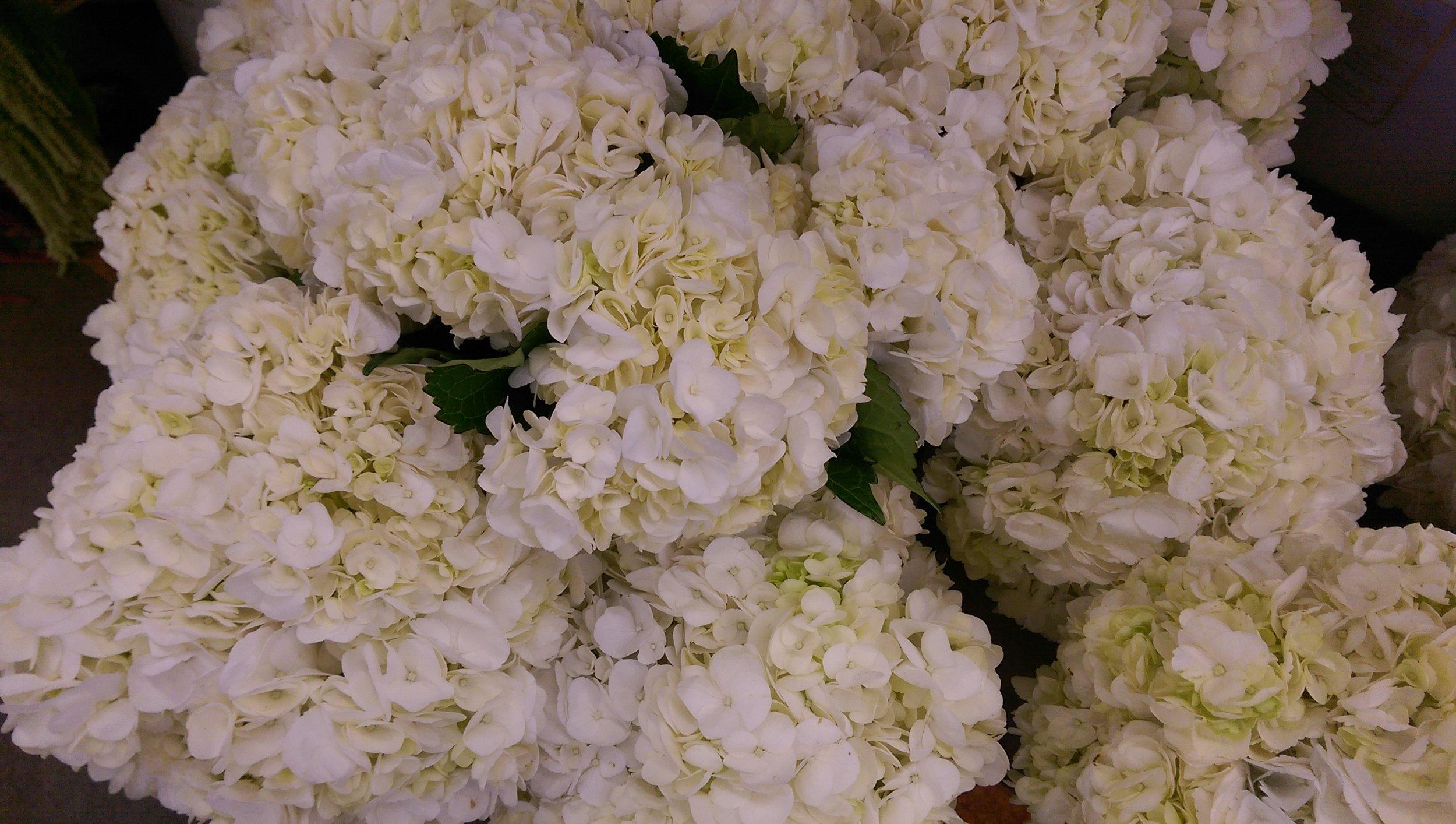 Hydrangeas Imported  Year round