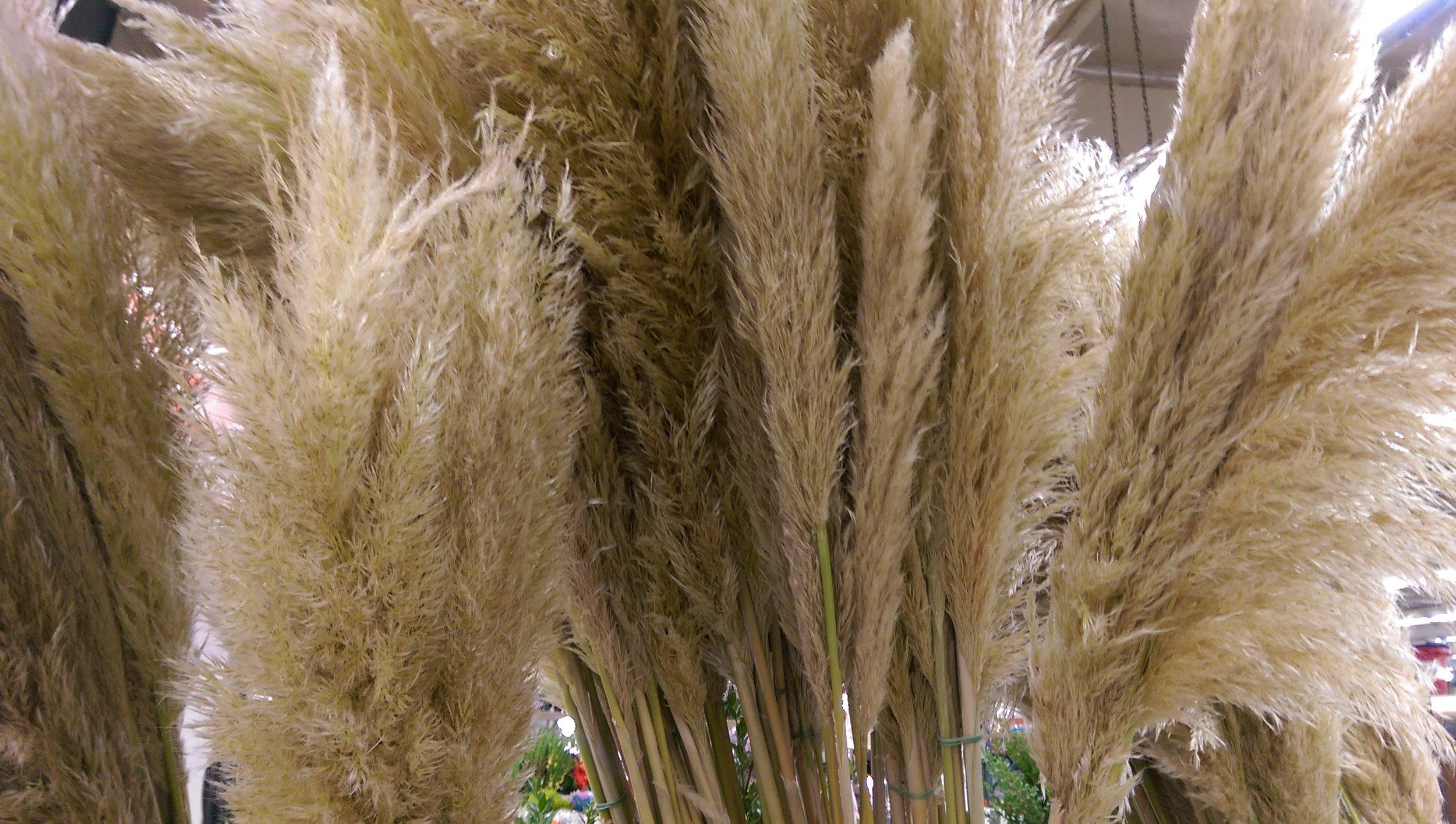 Pampas Grass  Seasonal