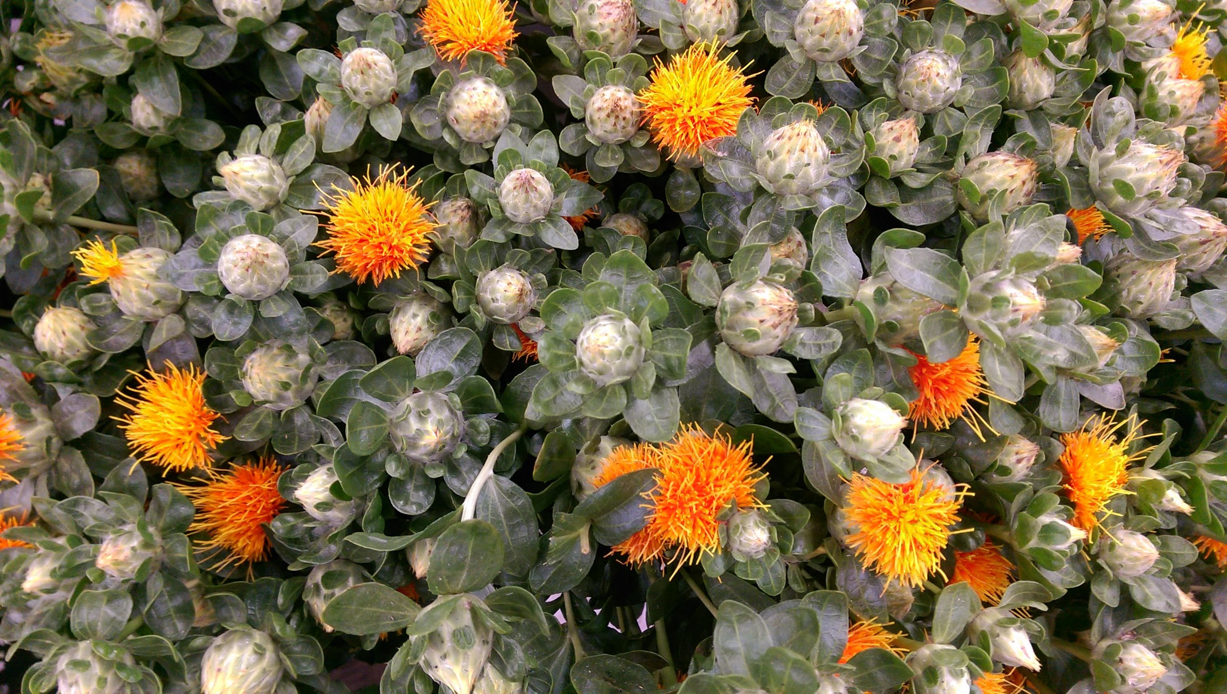 Safflower  Seasonal