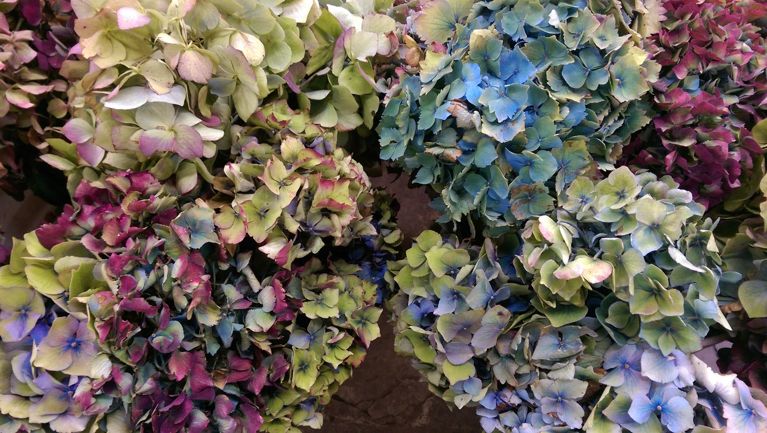 Local Antique Hydrangea  Seasonal