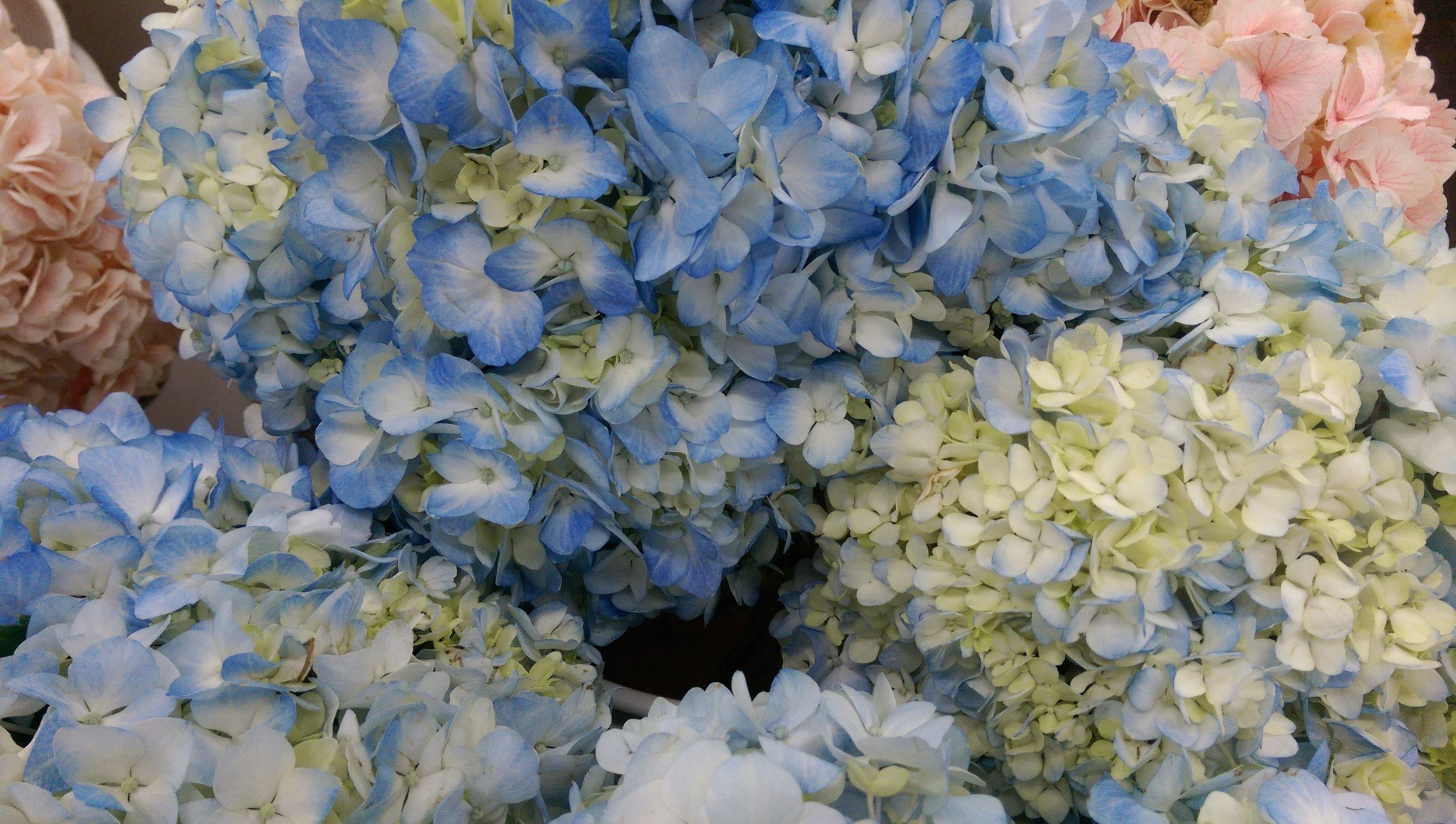 Natural light blue Hydrangea  Year round