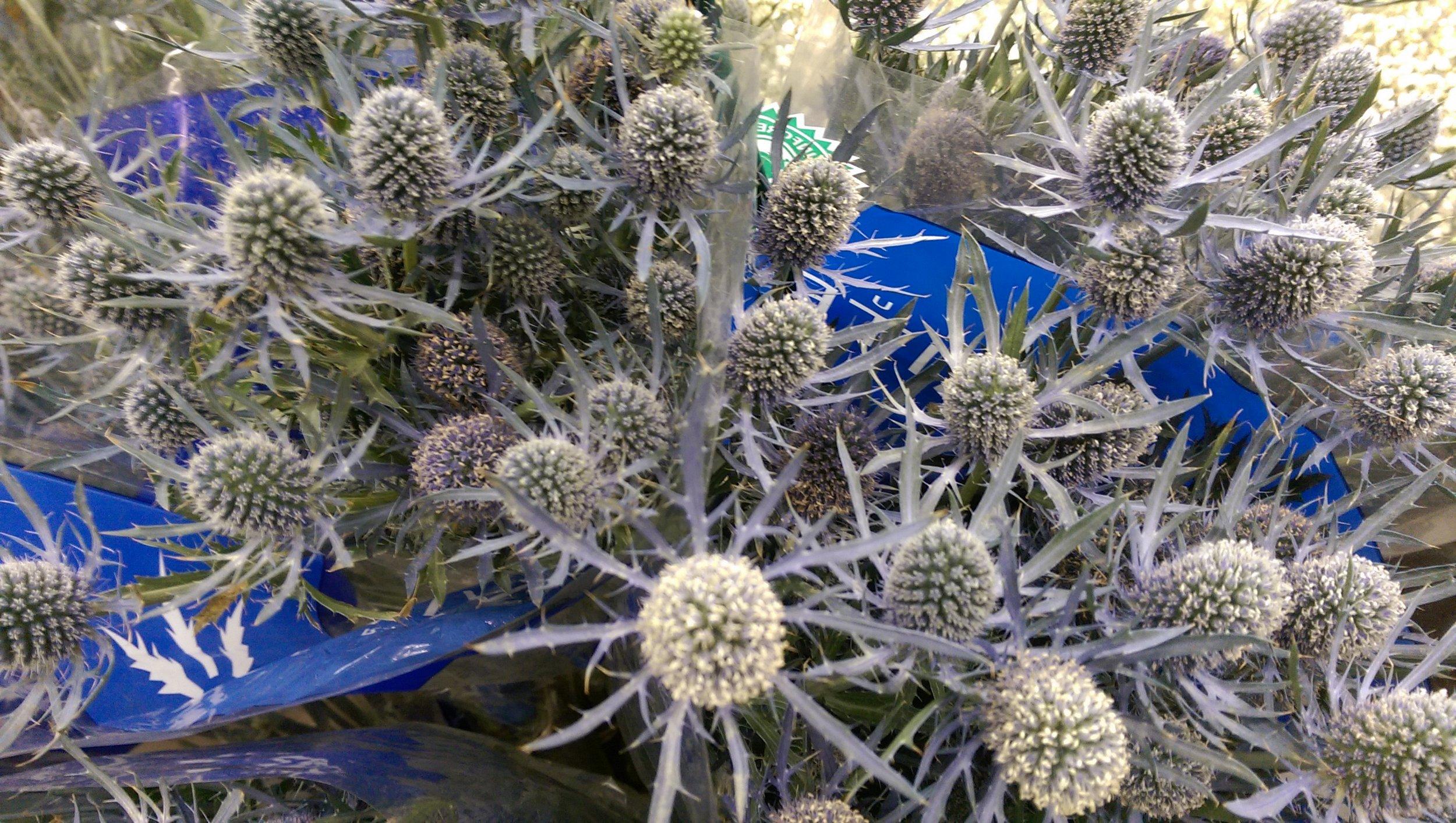 Eryngium/Blue Thistle  Year round