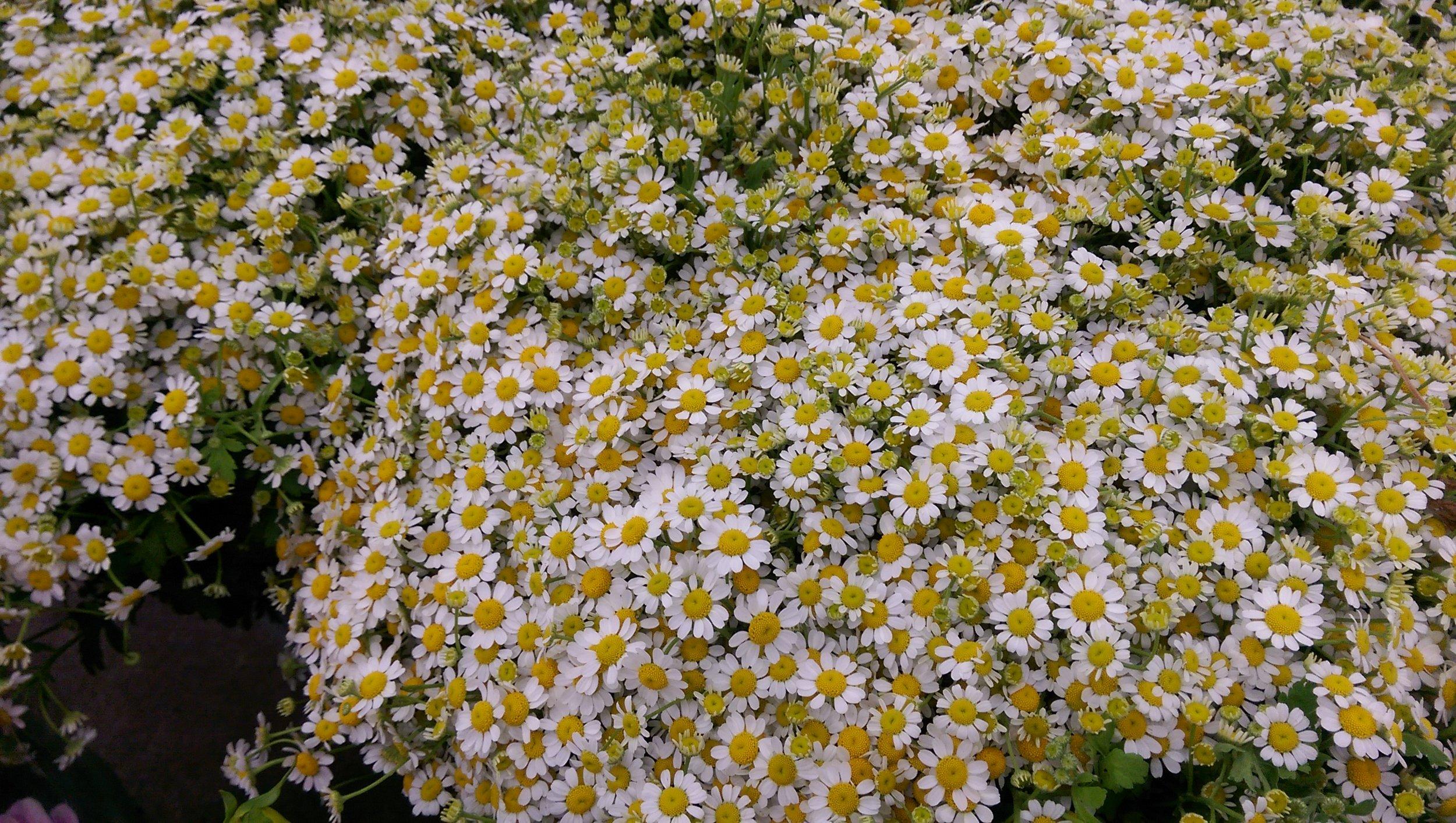 Feverfew/Matricaria  Seasonal