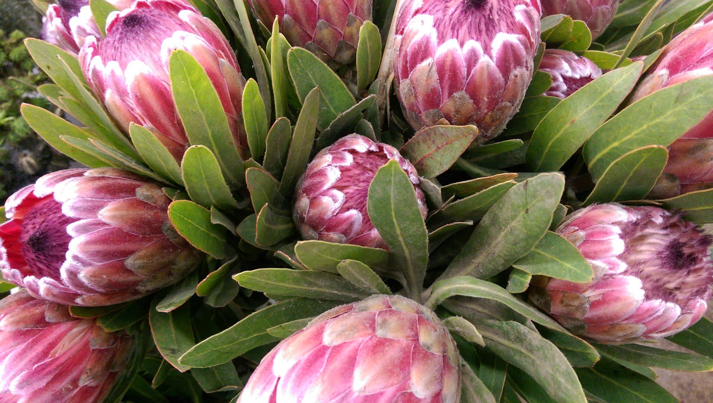 Pink Eye Proteas  Year round