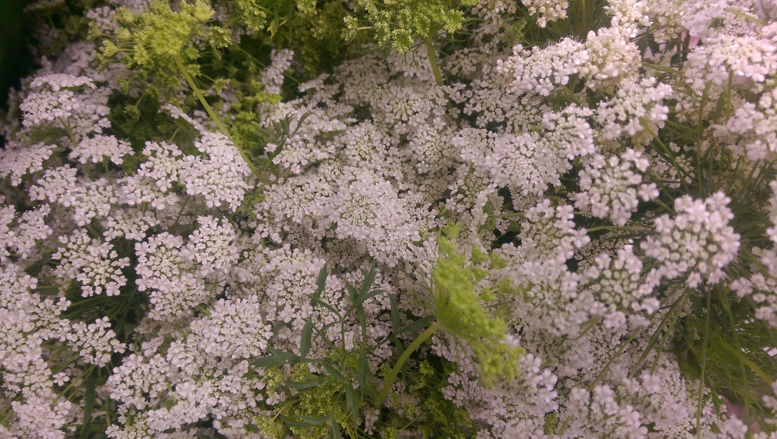Queen Ann Lace/Green mist  Year round