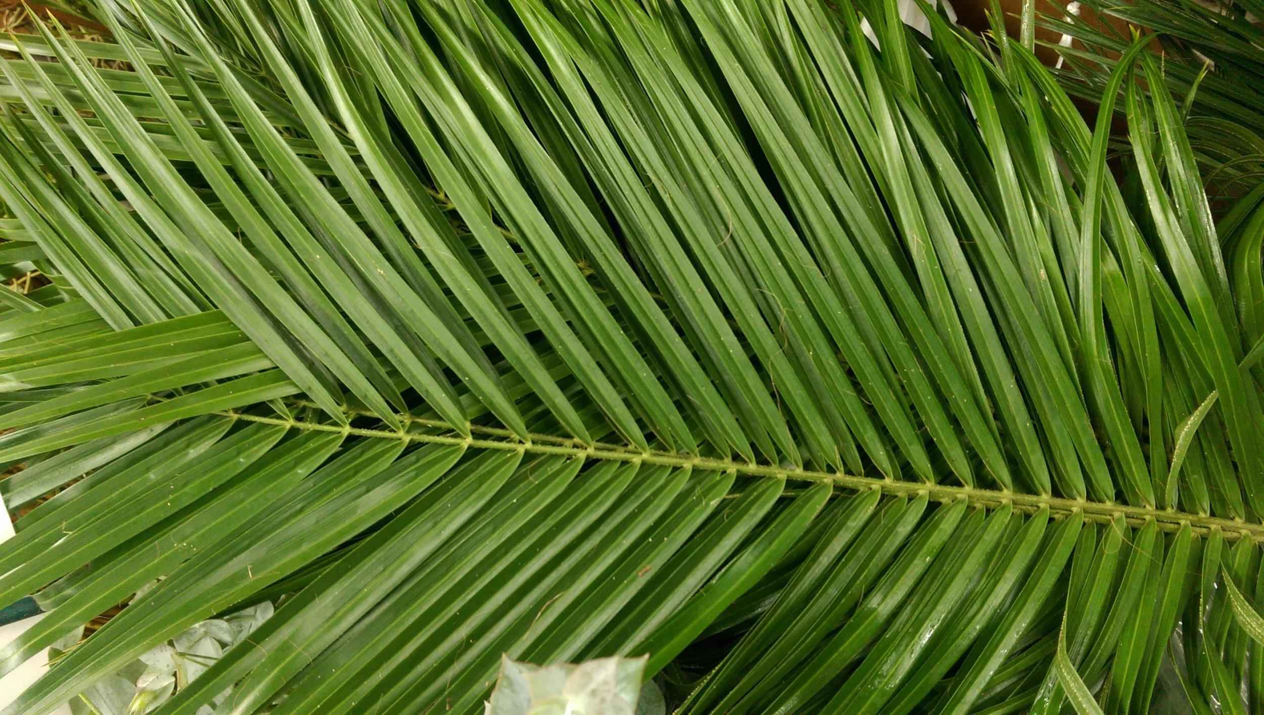 Robellini Palm Leaf  Year round