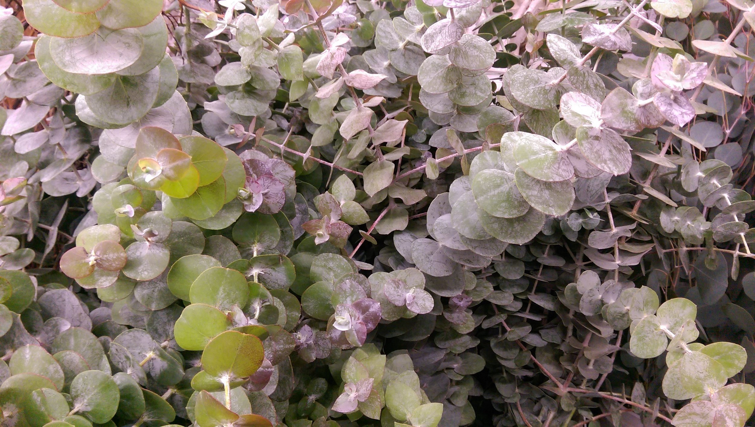 Baby Blue Eucalyptus  Year round