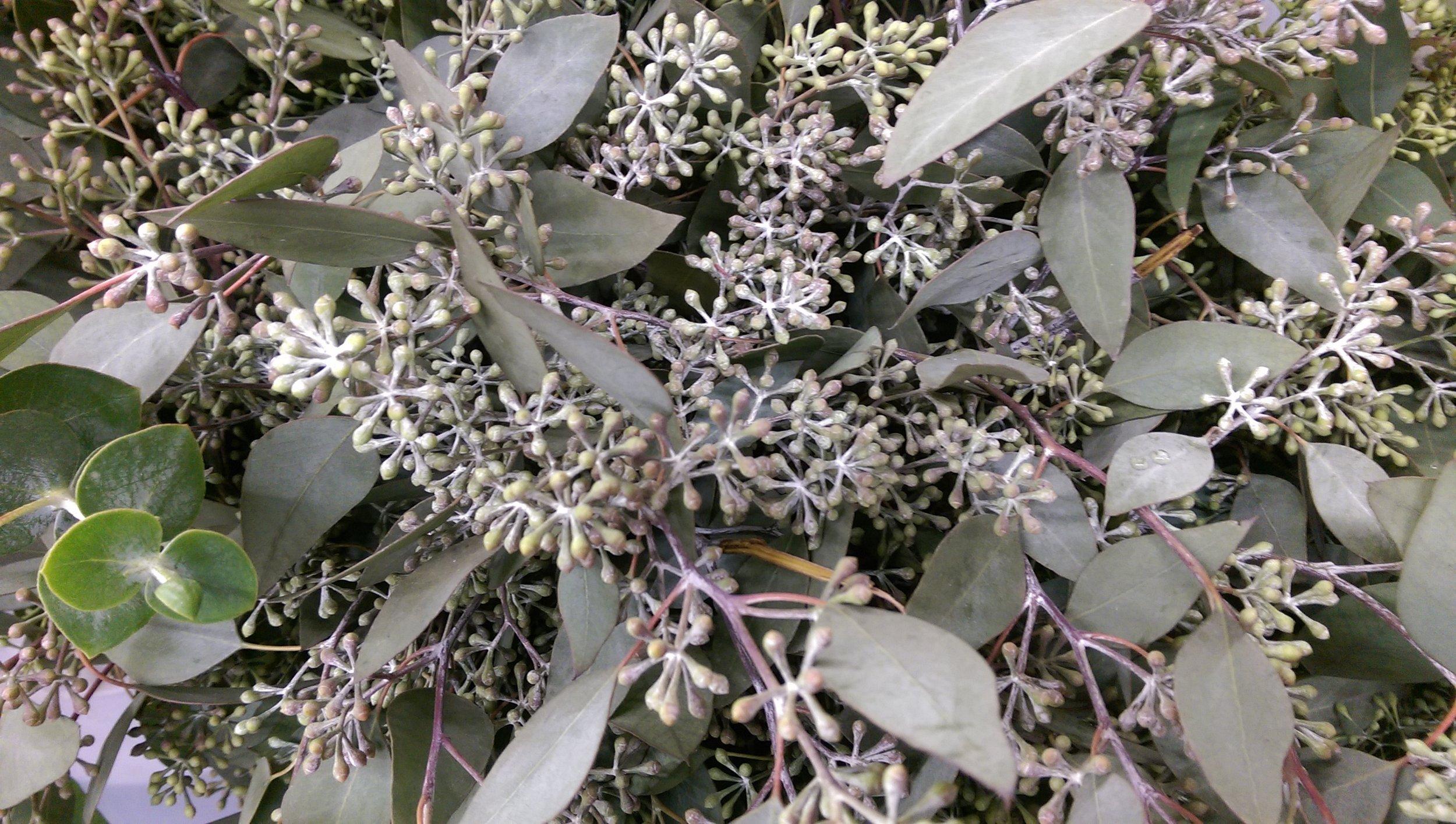 Seeded Eucalyptus  Year round