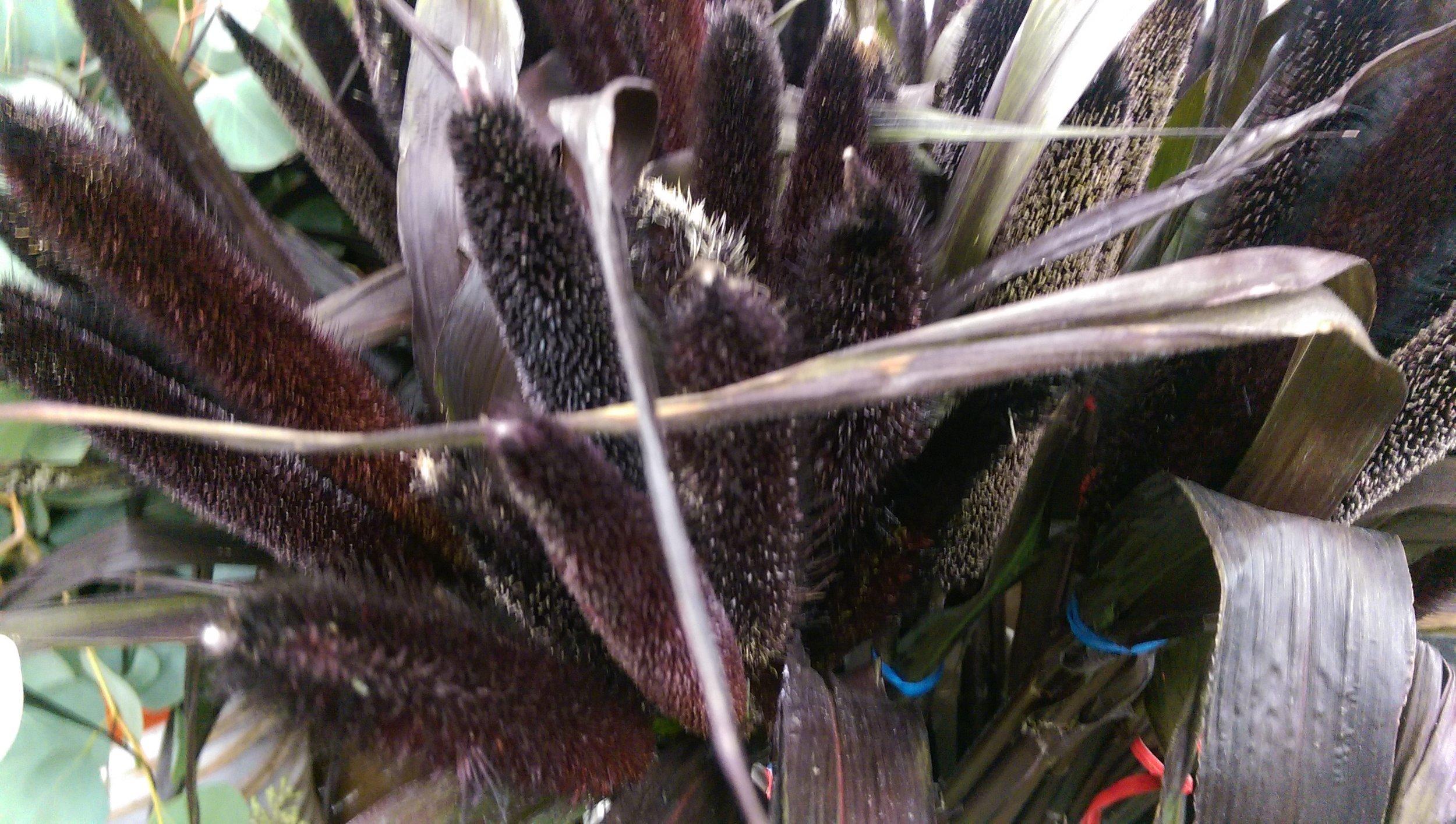 Black Millet  Seasonal
