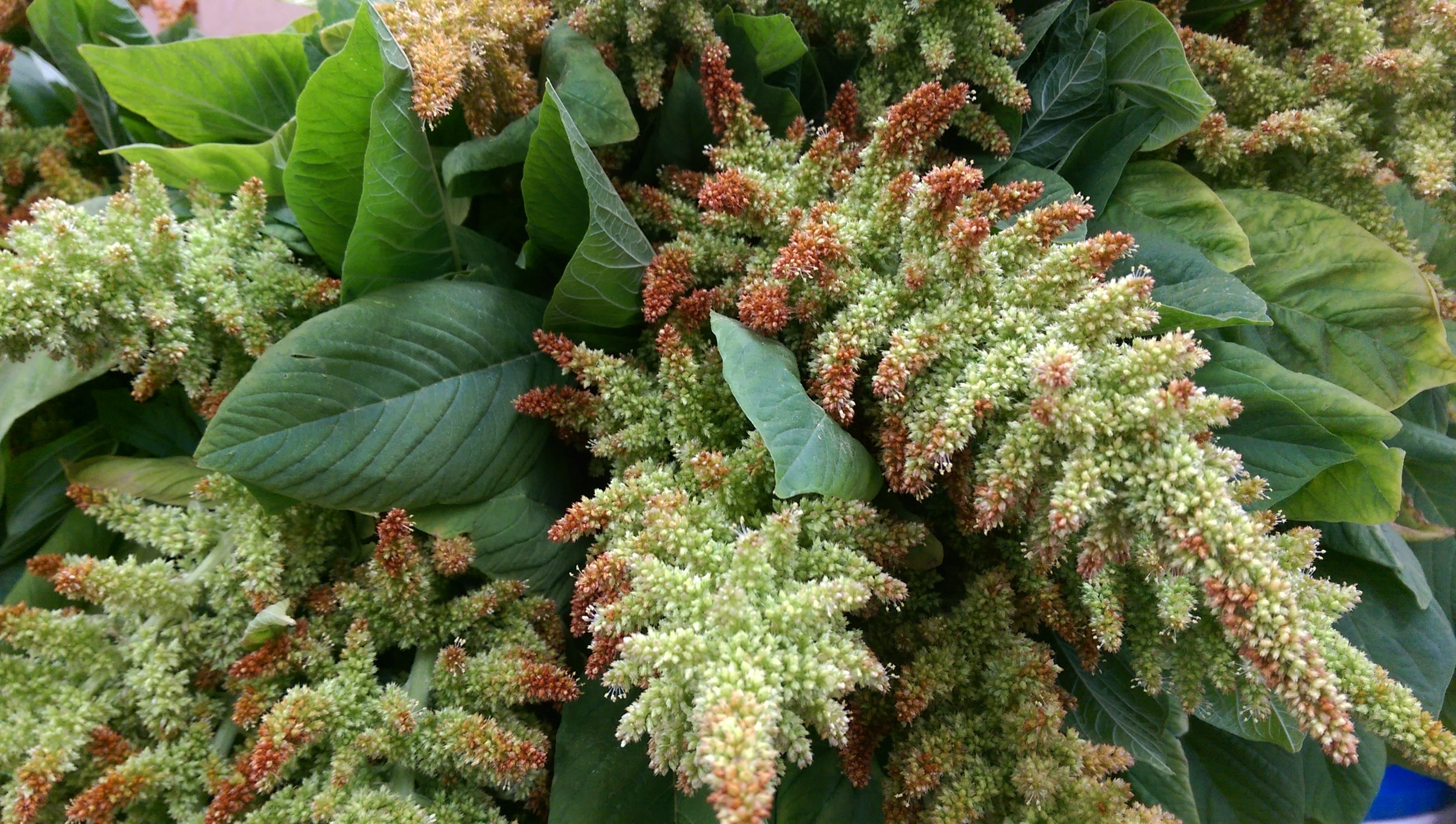 Green/Brown Amaranthus  Seasonal