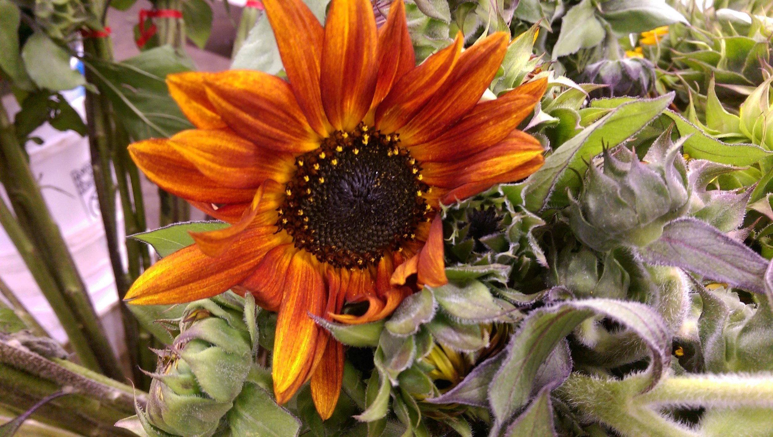 Chocolate Sunflower  Seasonal
