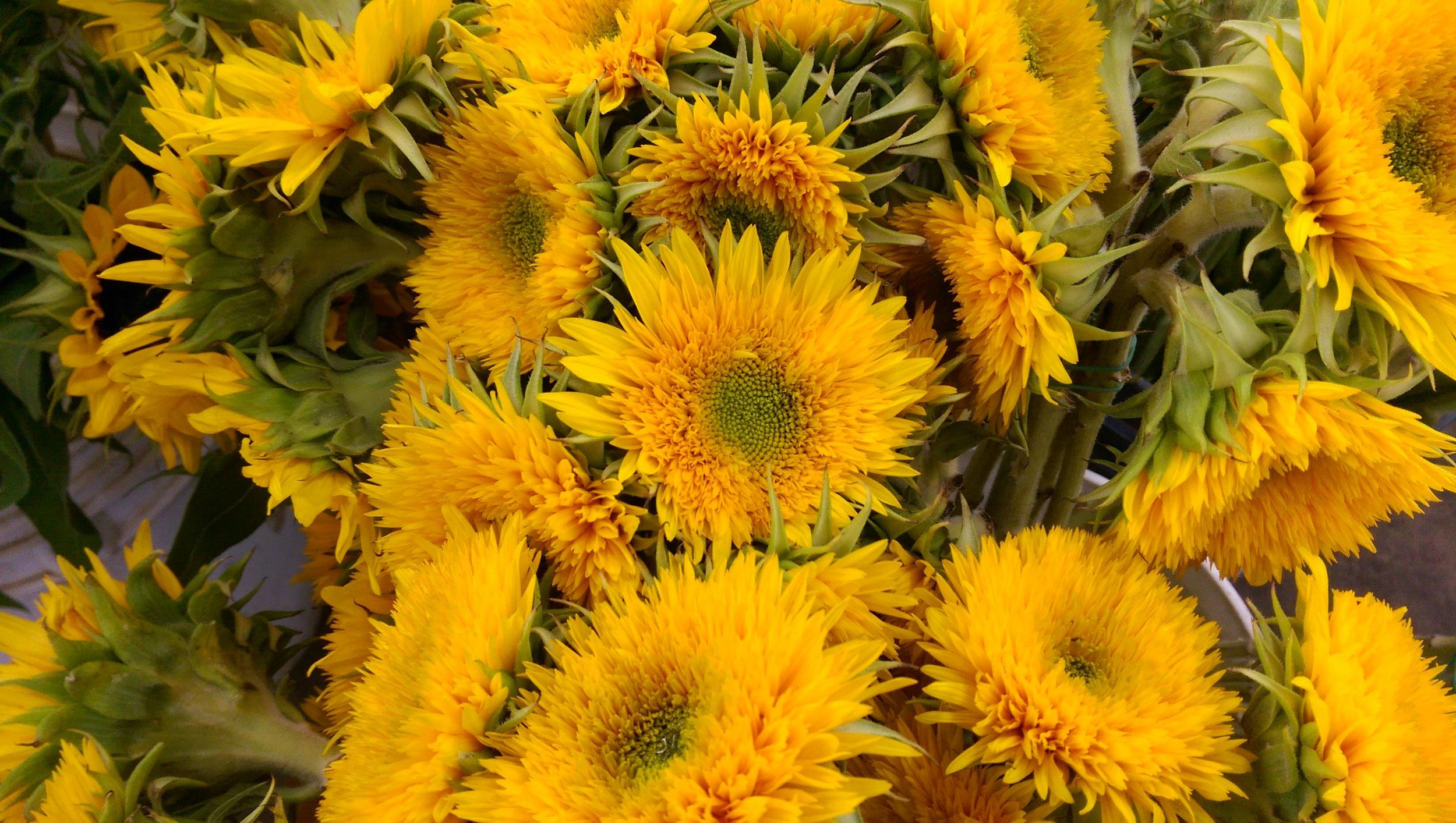 Teddy Bear Sunflower  Seasonal
