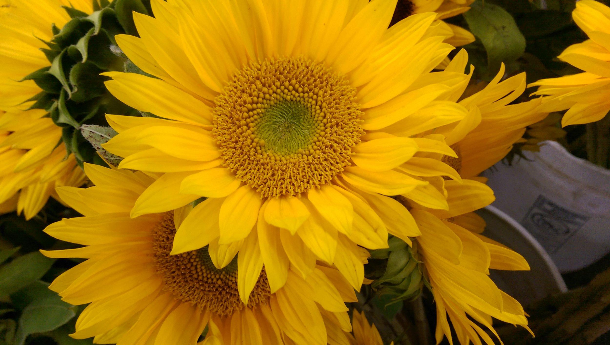Yellow Sunflower  Seasonal