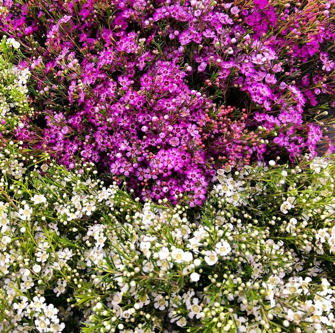 Wax Flower  Year round