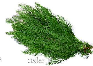 Cedar pine  Seasonal