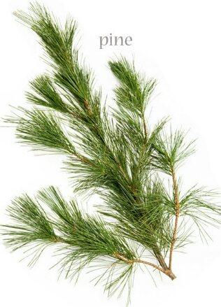 Princes pine  Seasonal