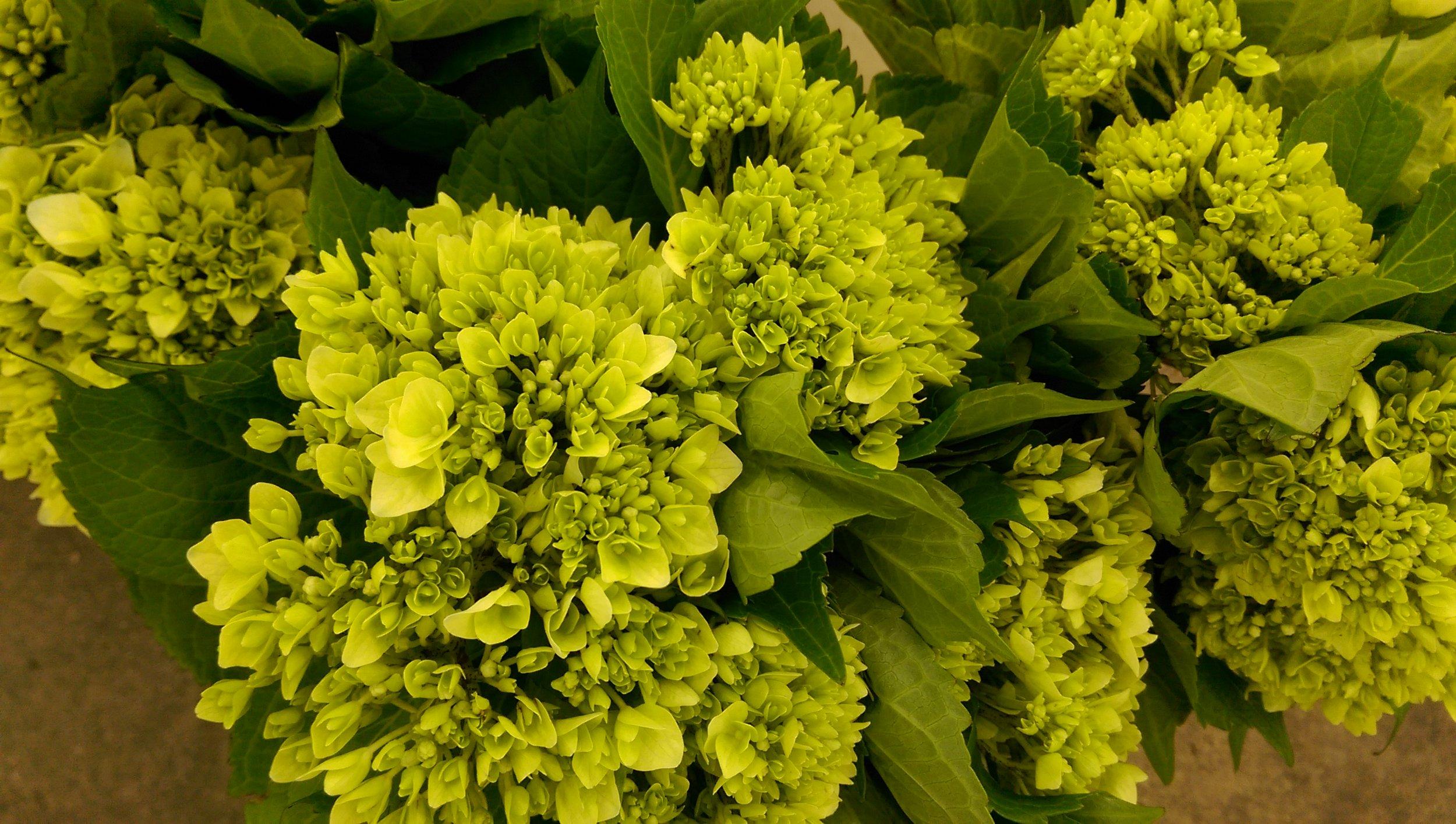 Mini Green Hydrangea  Year round