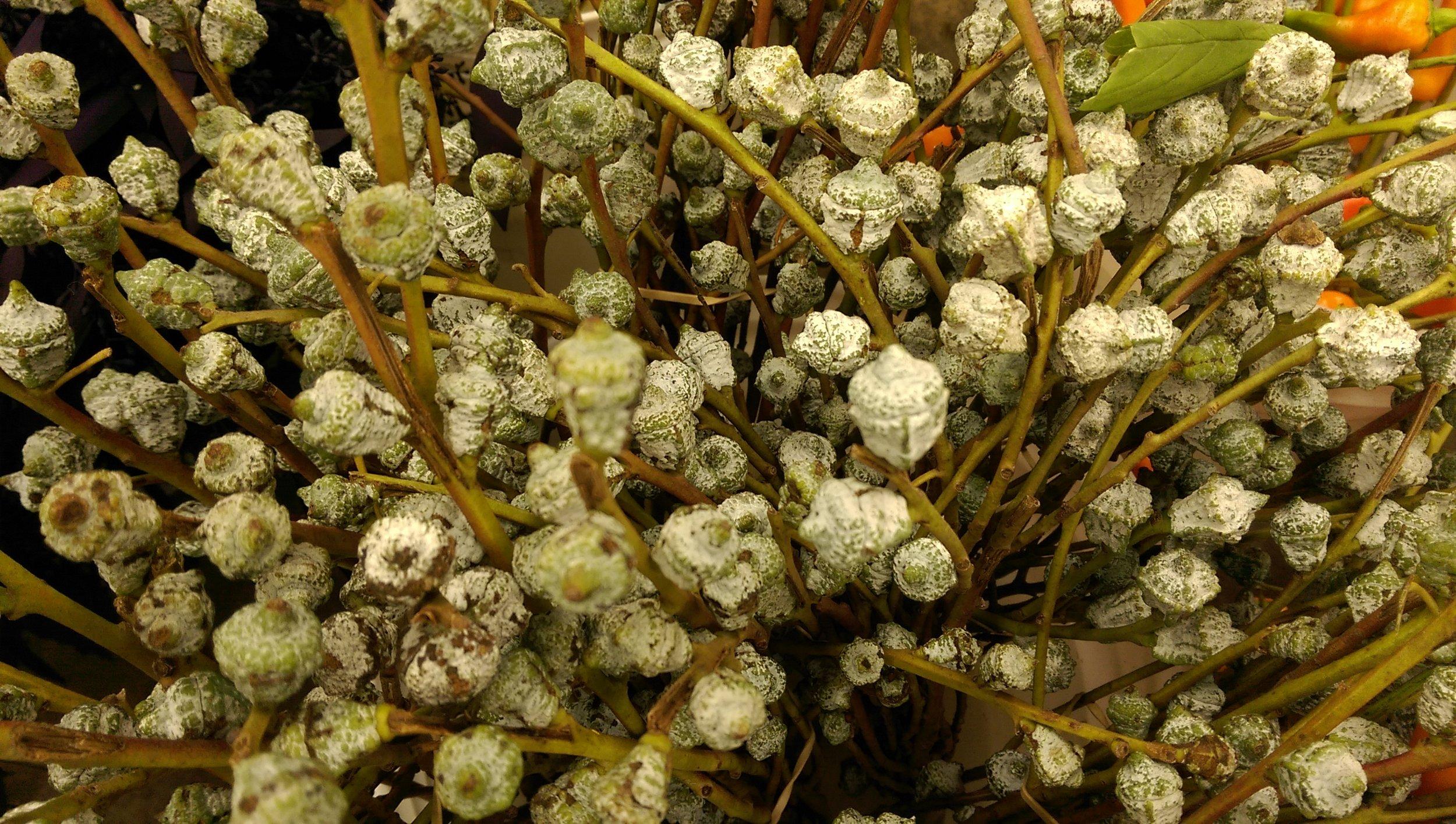 Silver Cones  Seasonal