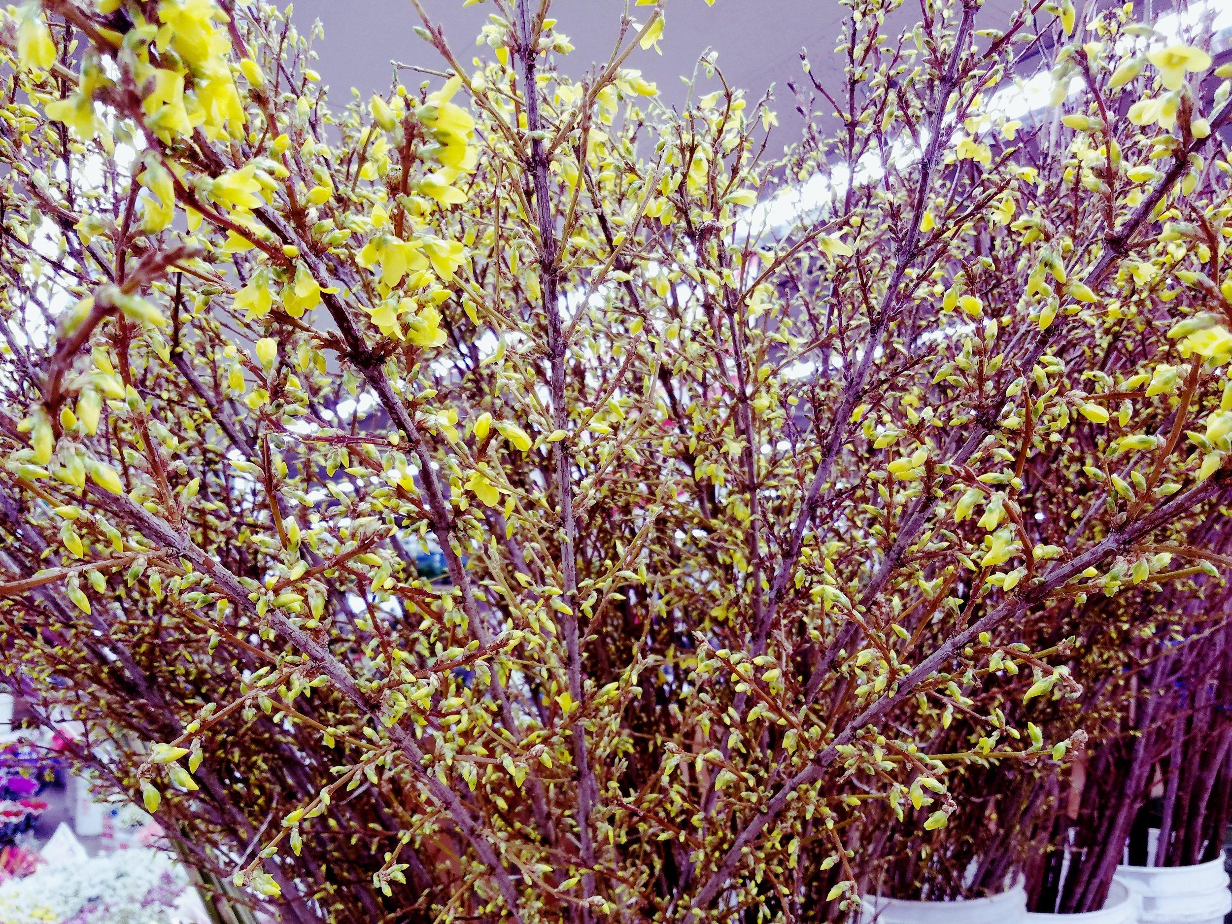 Forsythia  Seasonal