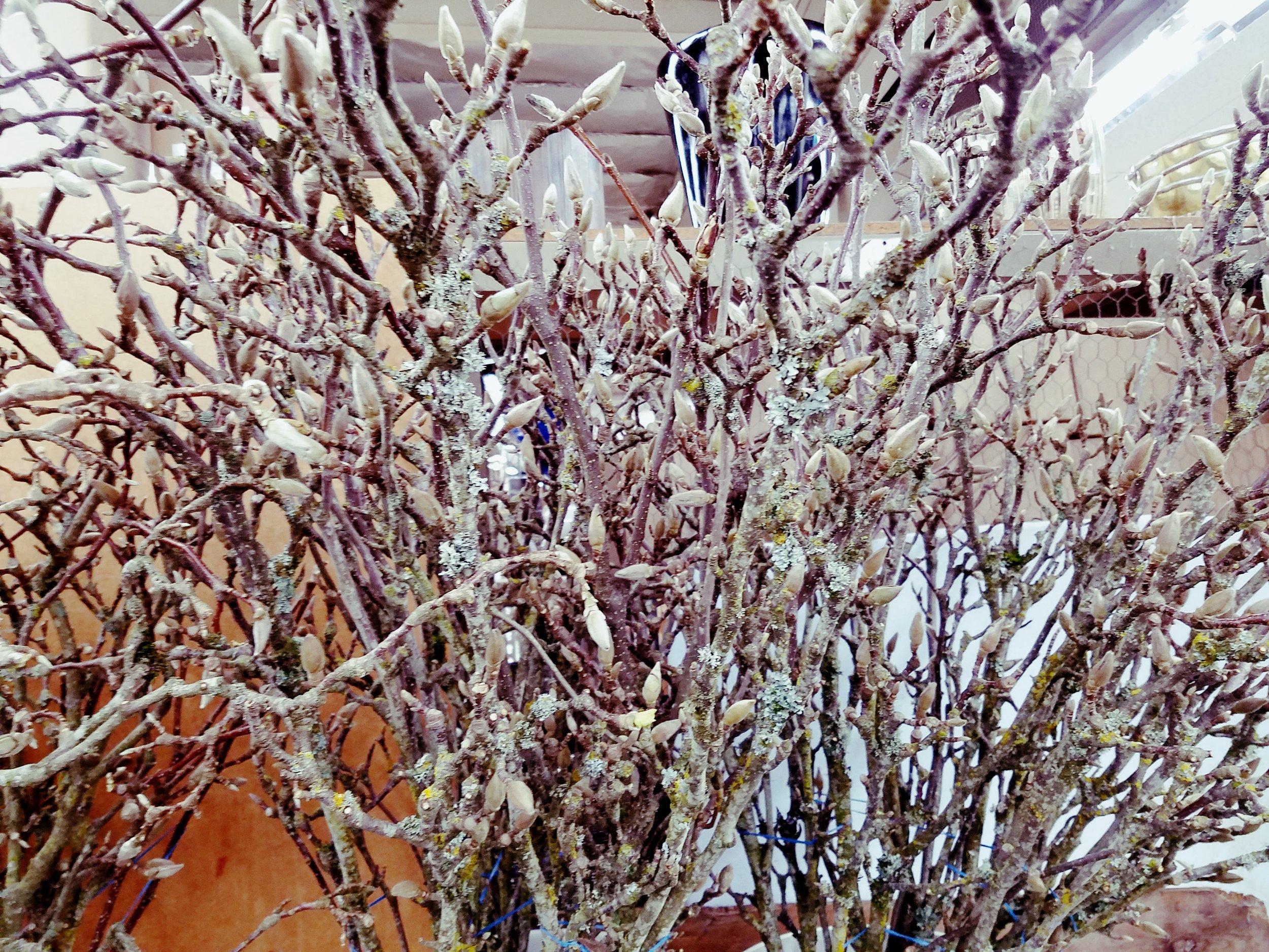 Japanese Magnolia  Seasonal