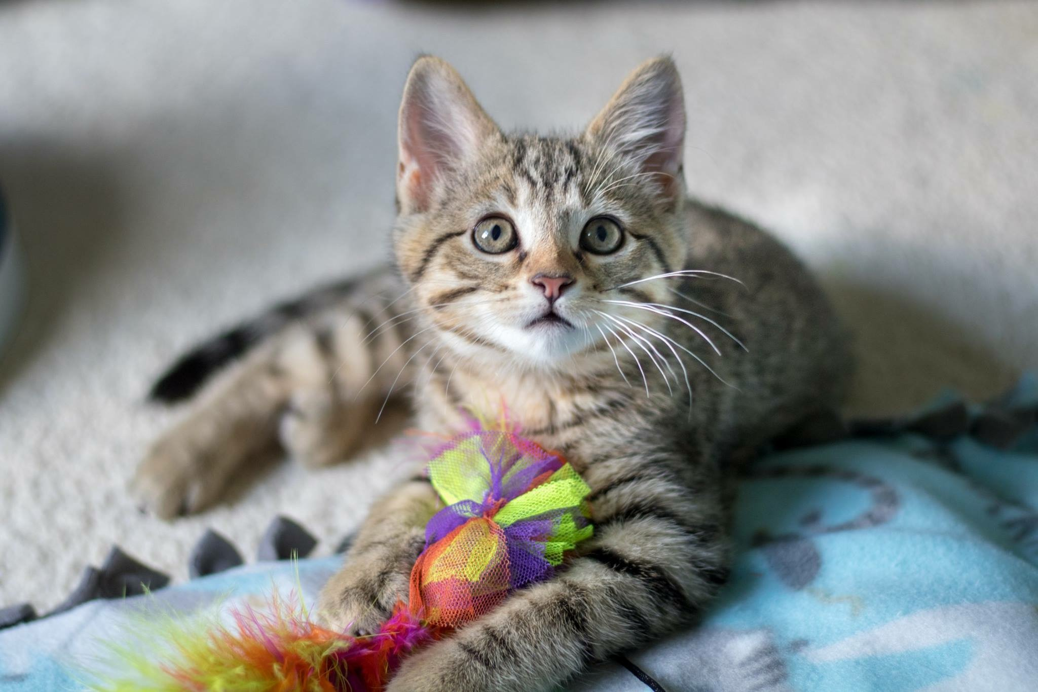 My name is Allie! I was born in the bushes of a local neighborhood along with my three other siblings. A nice family noticed us and started to leave out food for our hungry bellies. LC3 responded to the home owner's call about us and took us all in. I am almost 10 weeks old and I am looking for a family of my very own! I love to play with toys and my sister Winnie!  Adopted!