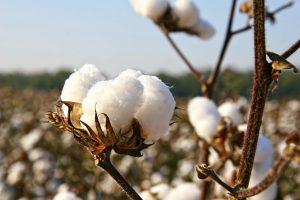 source: cottongrower.com