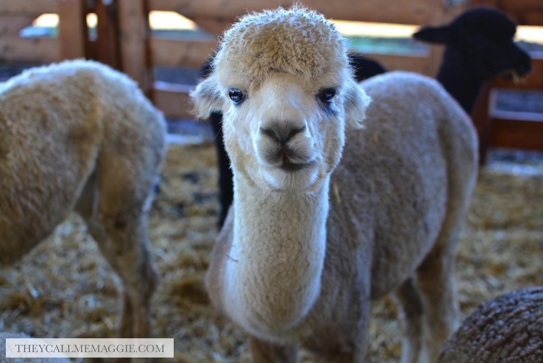 alpaca-farm.jpg