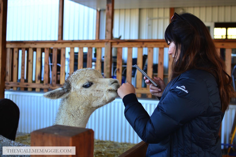 alpaca-petting.jpg