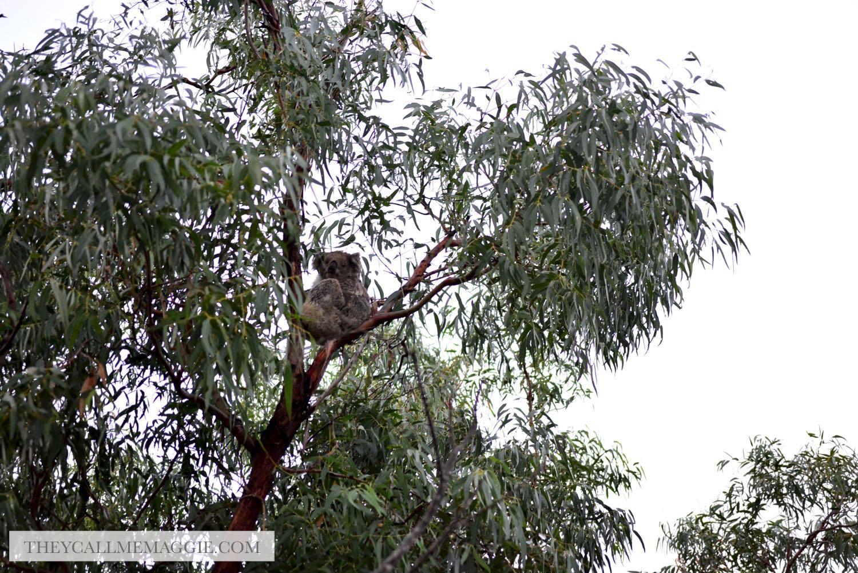 raymond-island-koalas.jpg
