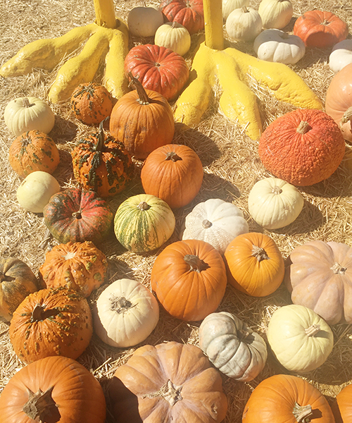 A BEAUTIFUL ASSORTMENT OF PUMPKINS; FROM PLAIN TO WARTS + EVERYTHING IN BETWEEN