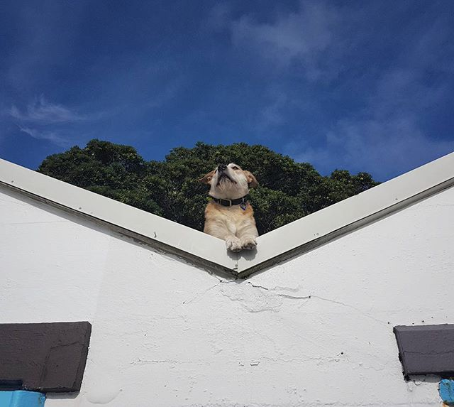 Dog on a roof.  #dogsofinstagram #cinematography #wellington #dogsofwellington