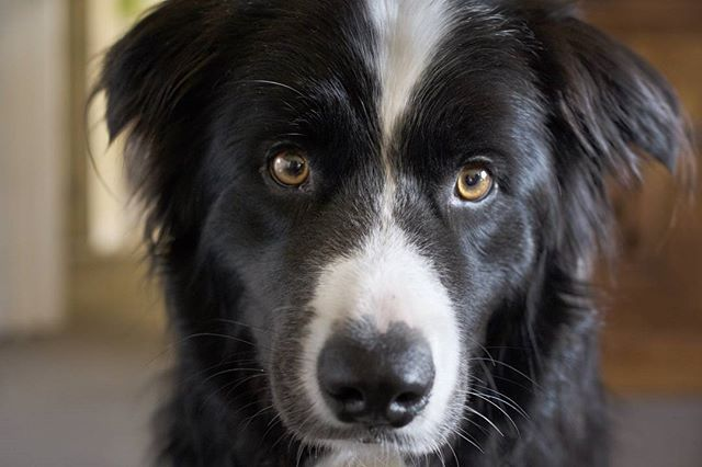 Our friend Watson, the cutest dog in Wellington (no offence to all the other dogs, but come on, look at this face)! #wellingtonnz #dogsofwellington #dogsofinstagram #cutedogs #bordercollie #videography #animalphotography