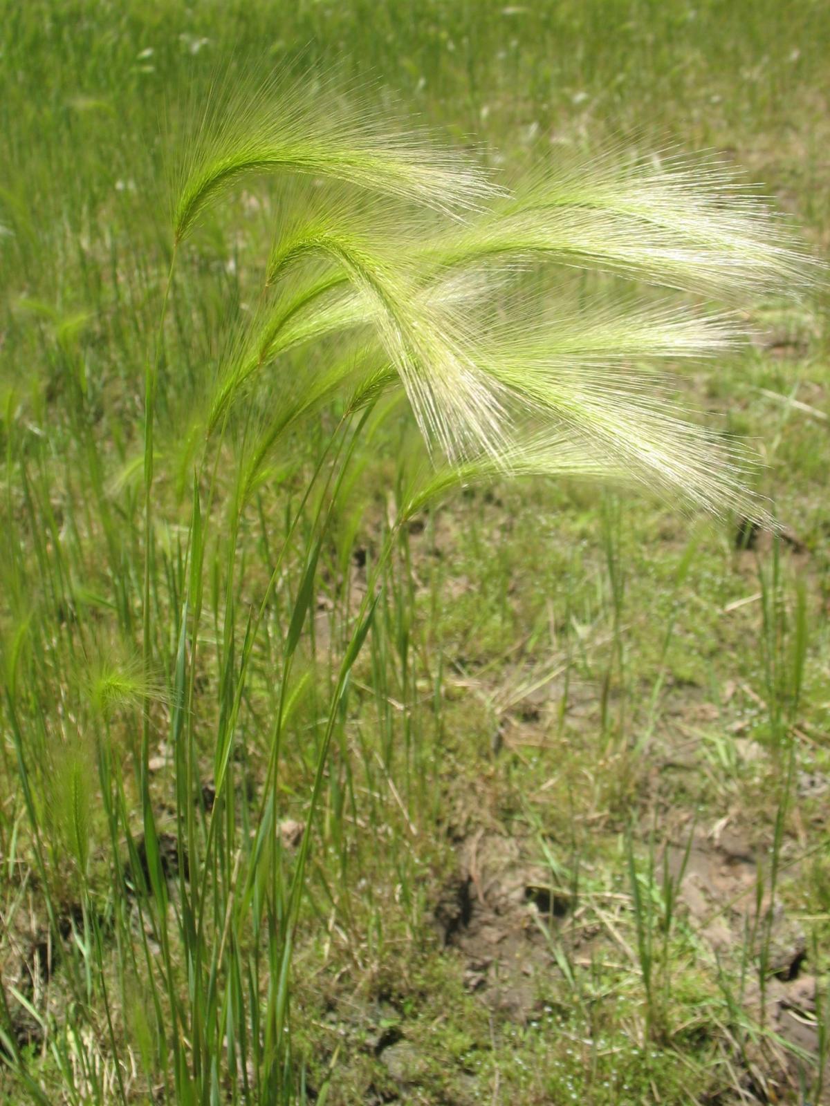Foxtail barley seed heads