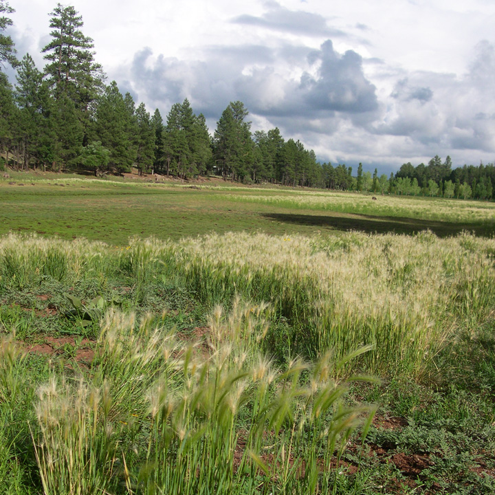 Foxtail barley is often found near water