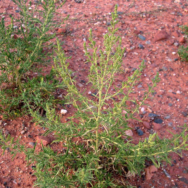 Kochia Northern Arizona Invasive Plants
