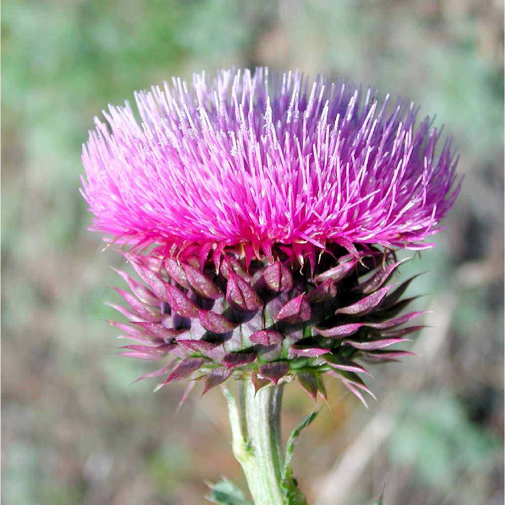 Musk thistle flower head and bracts