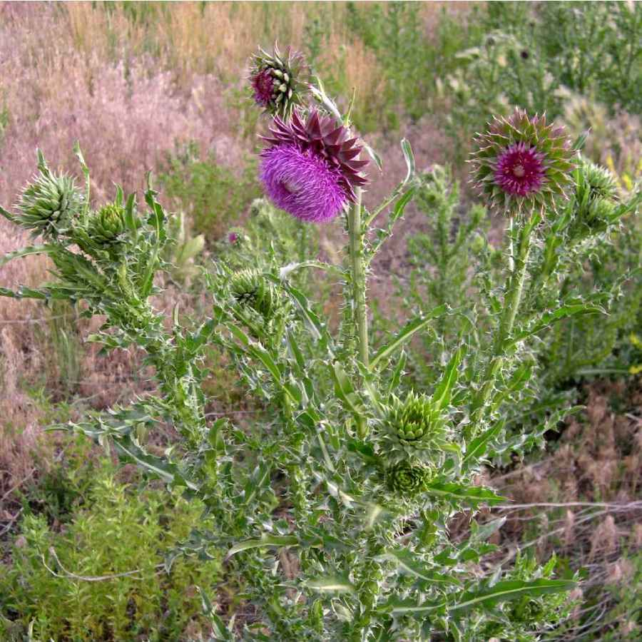 Musk thistle plant