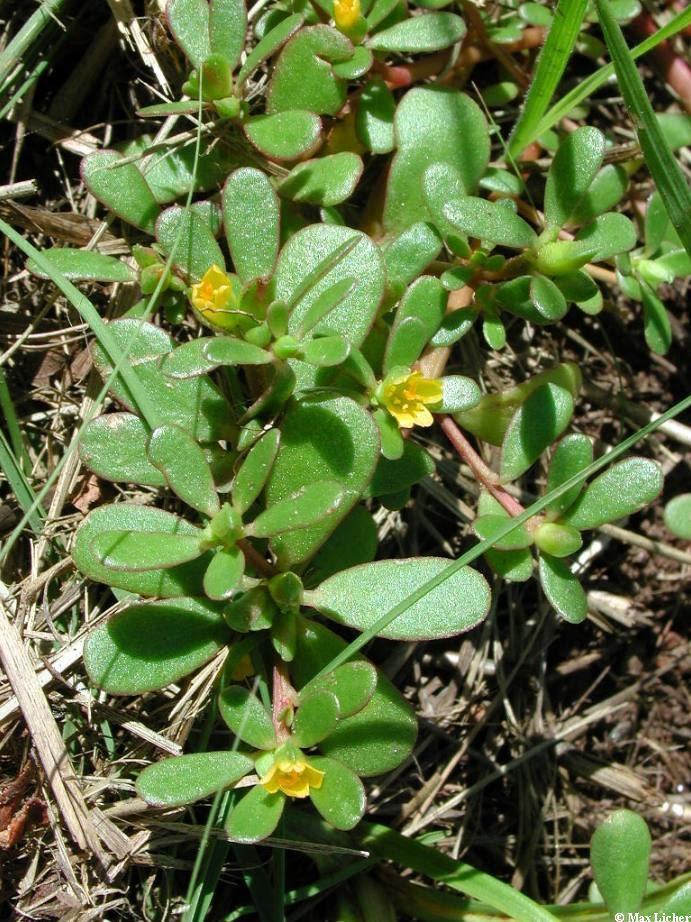 Purslane succulent leaves and flowers