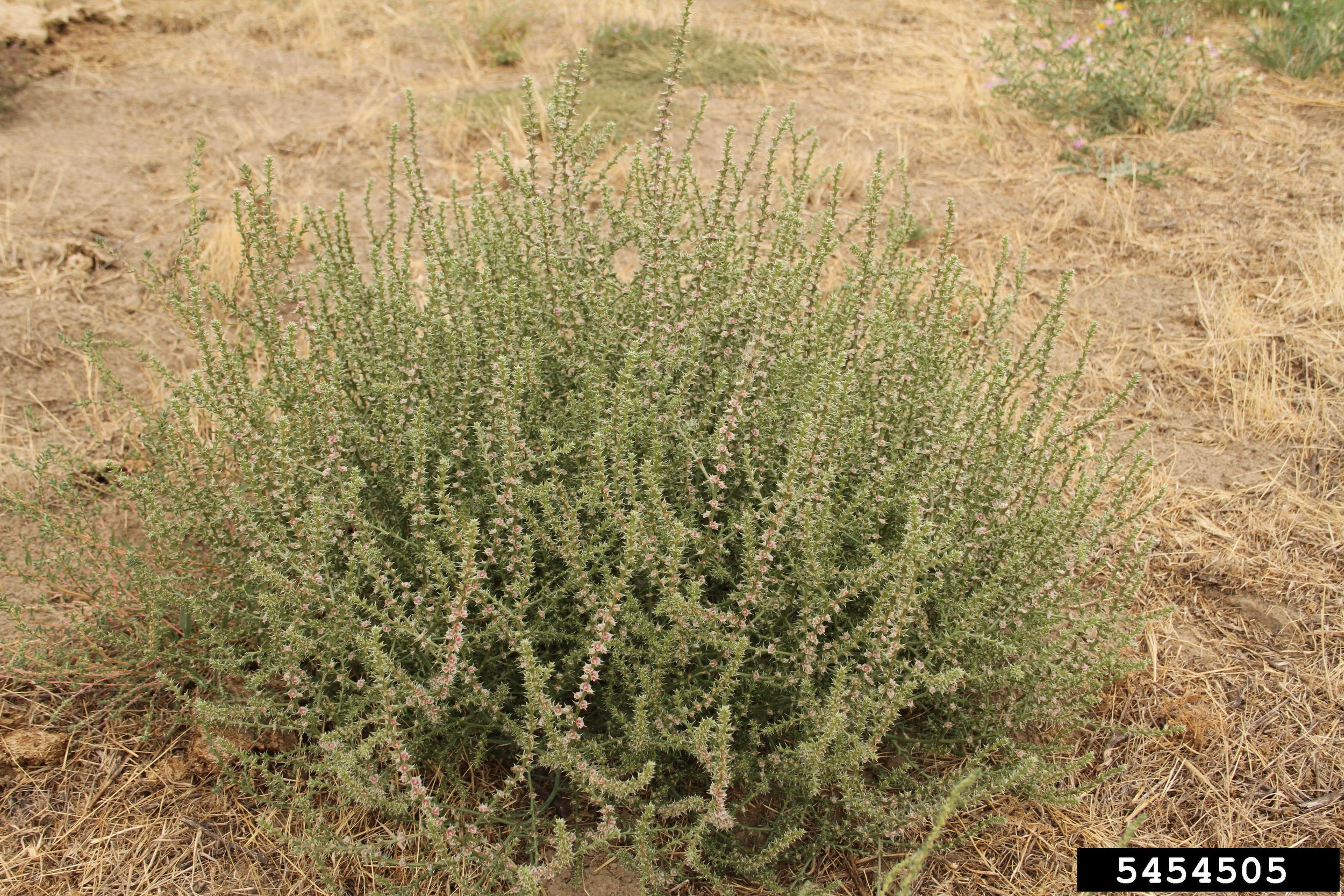 Russian thistle habit