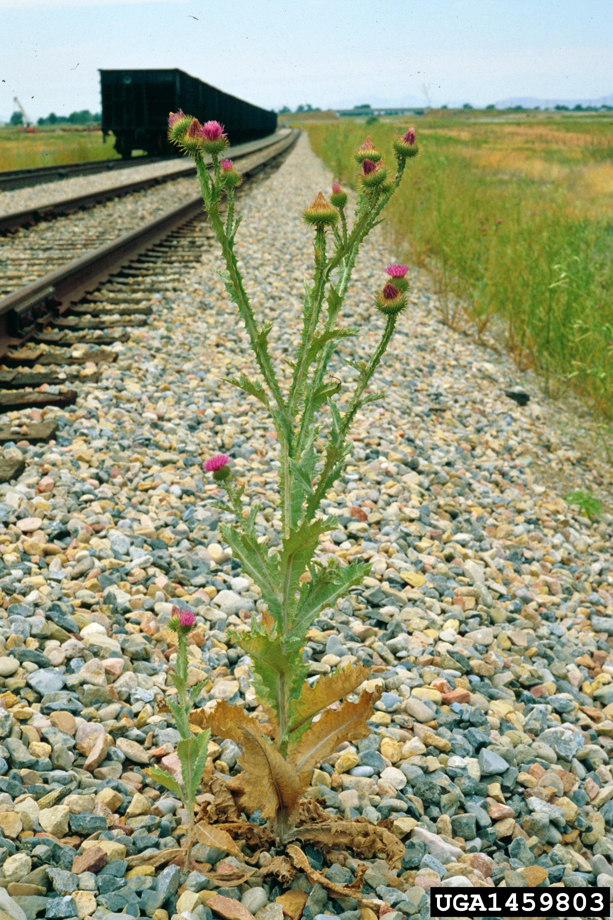 Scotch thistle plant