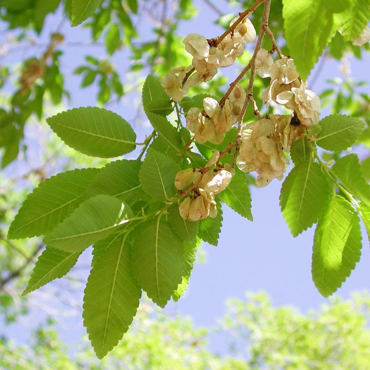 Siberian elm leaves and fruit
