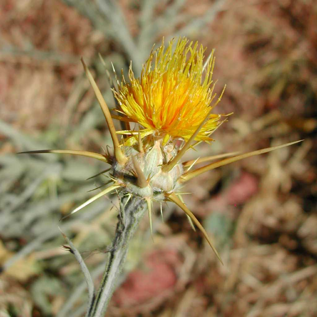 Flower head with spiny bracts