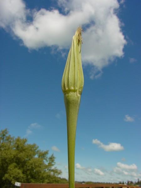 Salsify after bloom