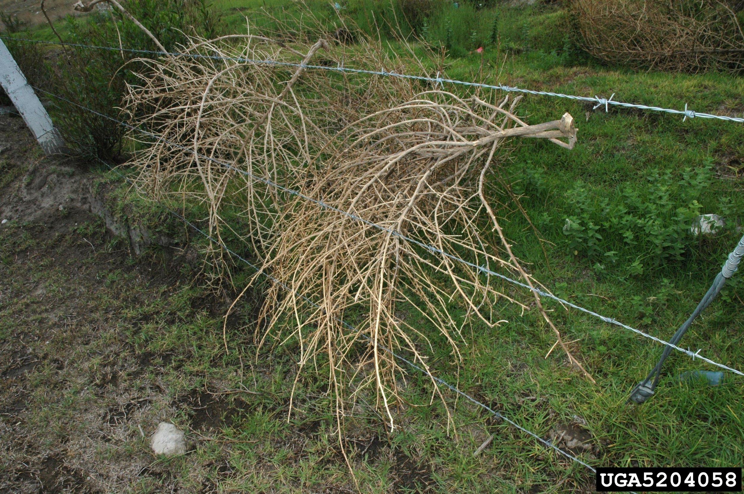 Russian thistle tumbleweed