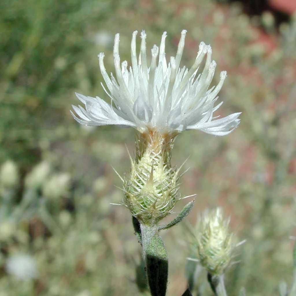 Diffuse knapweed